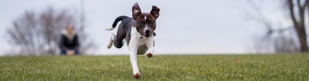 Sports mix dog running across grass