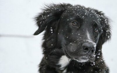 Hybrid Vigor in Dogs