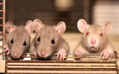 The Relationship Between Maternal Care and Rat Behavior