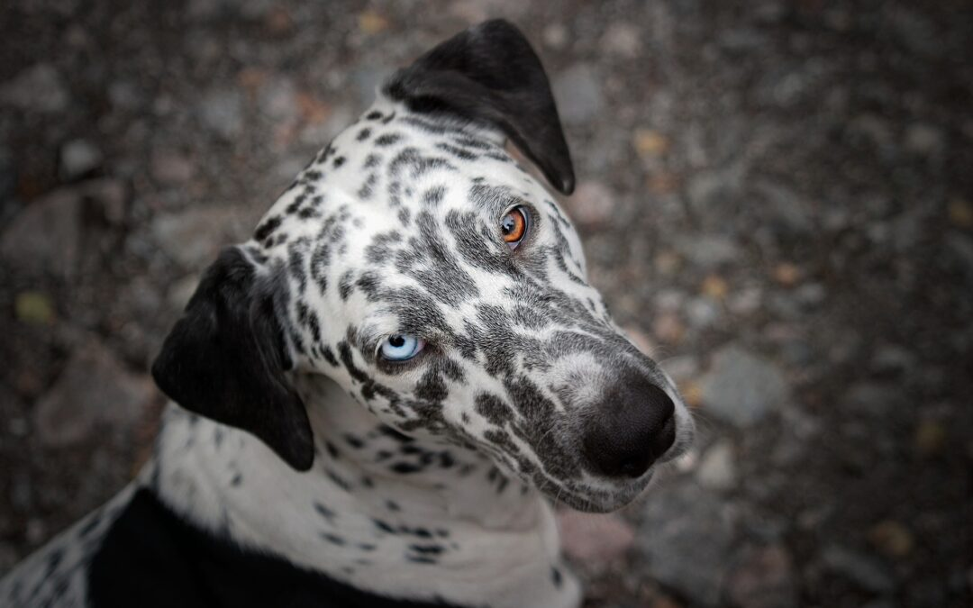 What Genes Control White Spotting in Dogs?