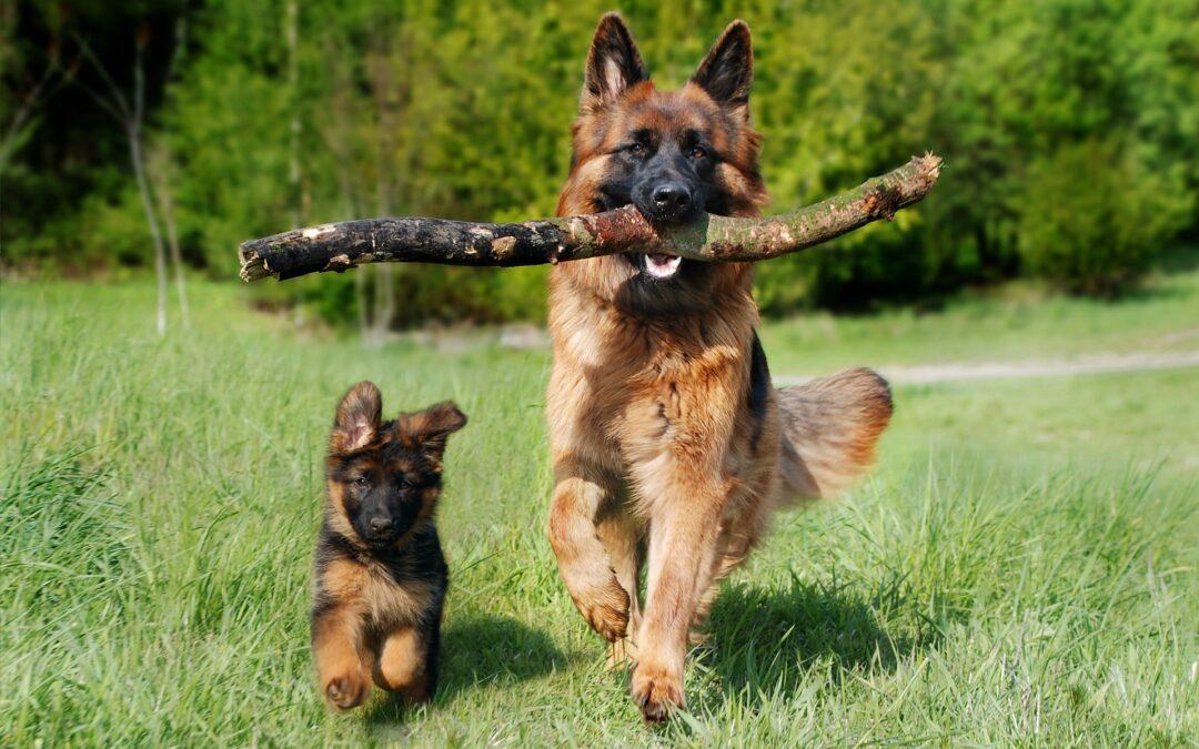 Heritability of Behavior in Service Dogs
