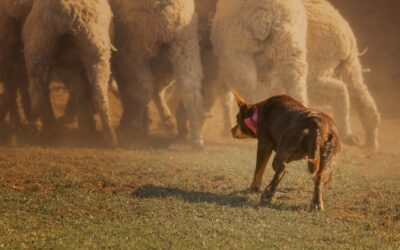 Behavioral Resilience in Australian Stock Working Dogs